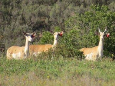 - White Flanked Impala