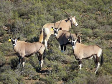 - Golden Oryx